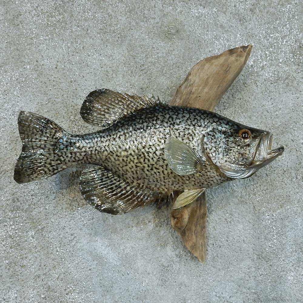 Black crappie life size fish mount 13365 the taxidermy for Pictures of crappie fish