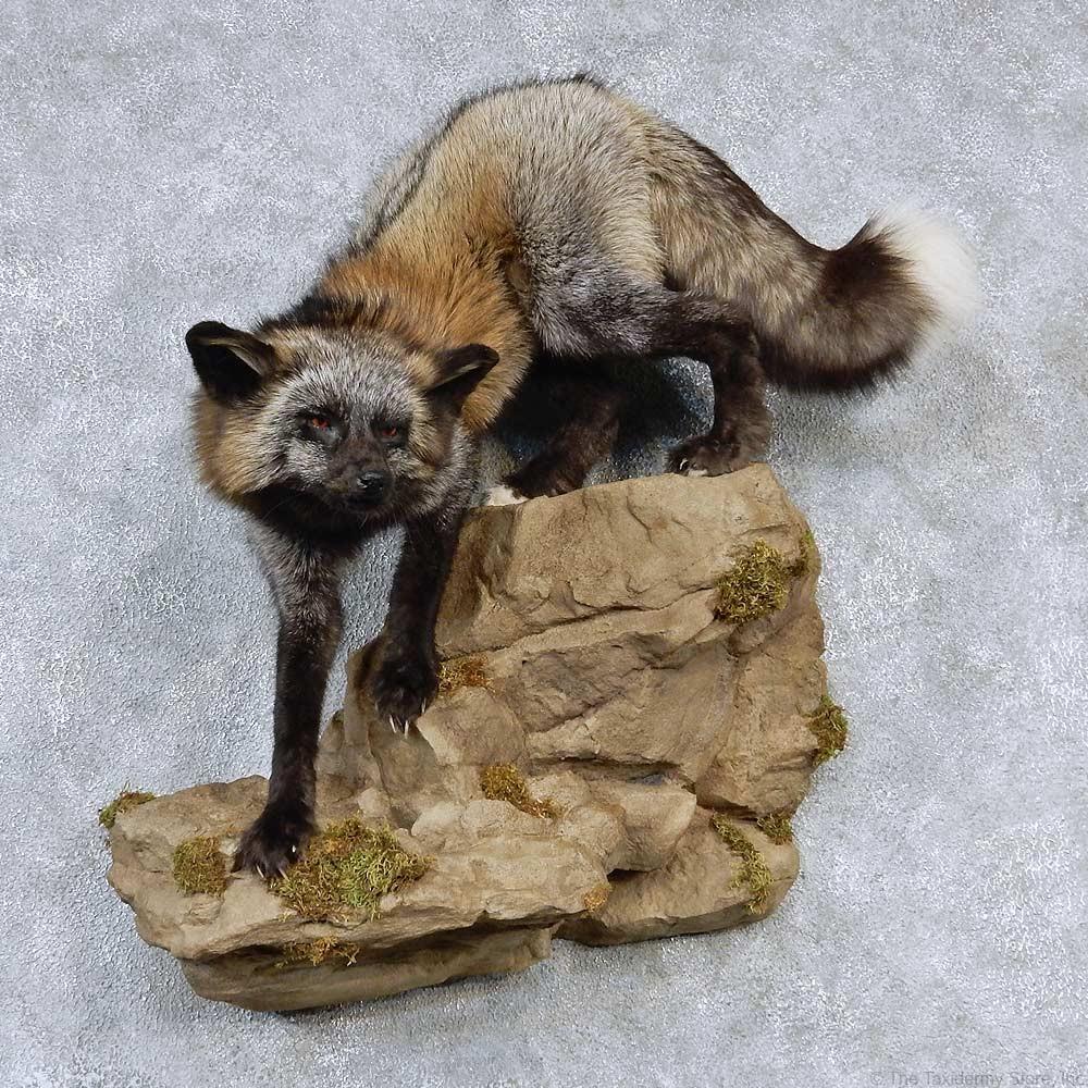 Cross Fox Life-Size Taxidermy Mount #13191 - The Taxidermy ...