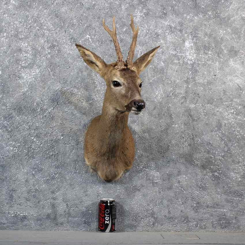 european roe deer mount for sale 11549 the taxidermy store. Black Bedroom Furniture Sets. Home Design Ideas