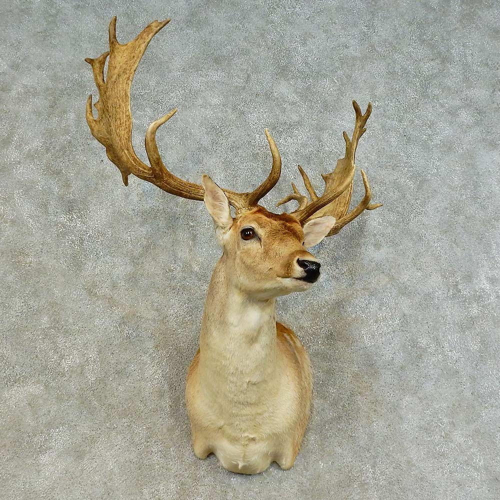 fallow deer shoulder mount for sale 16384 the taxidermy store
