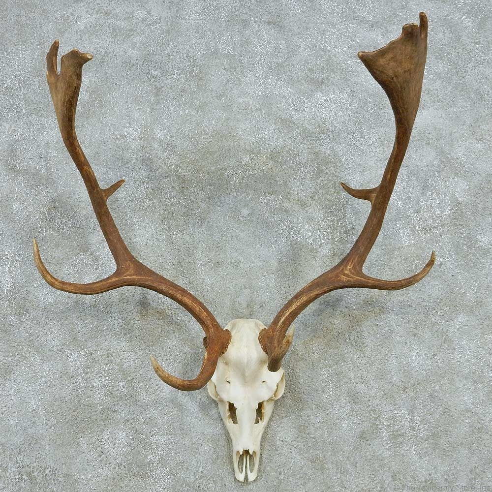 fallow deer skull antler european mount for sale the taxidermy store