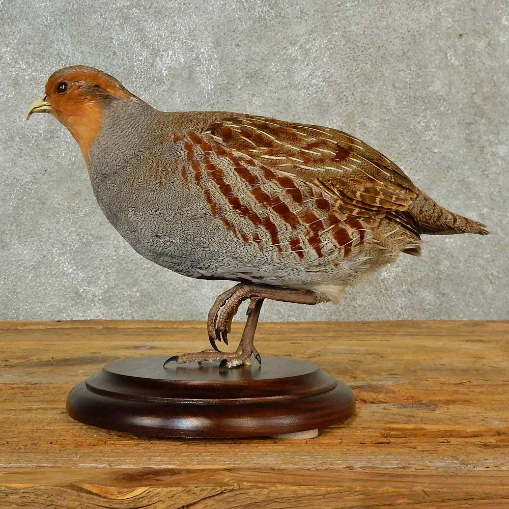 Hungarian Grey Partridge Bird Mount For Sale #16564 - The