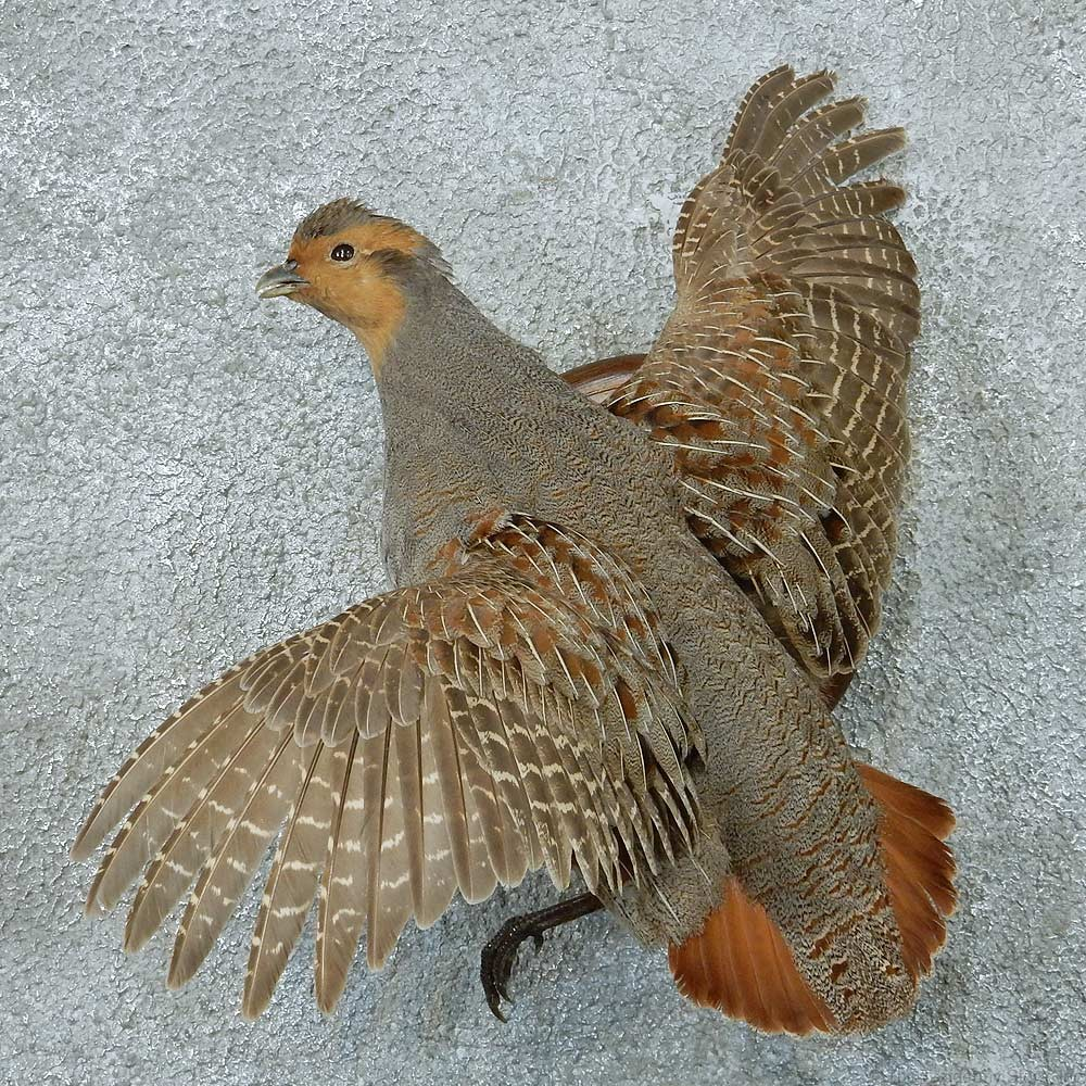 Hungarian Grey Partridge Mount #13354 - The Taxidermy Store