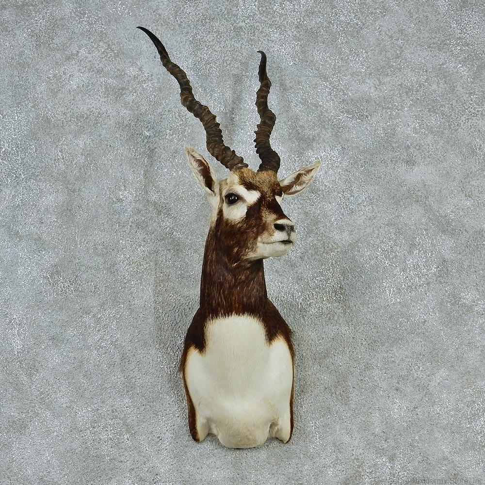 Blackbuck antelope mount - photo#9