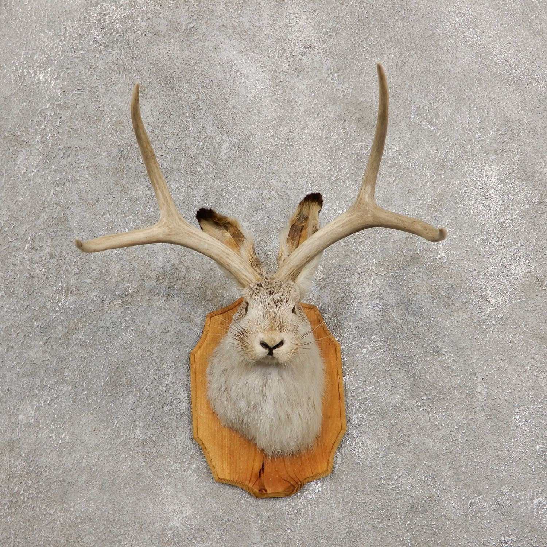 jackalope rabbit shoulder mount for sale 19238 the taxidermy store