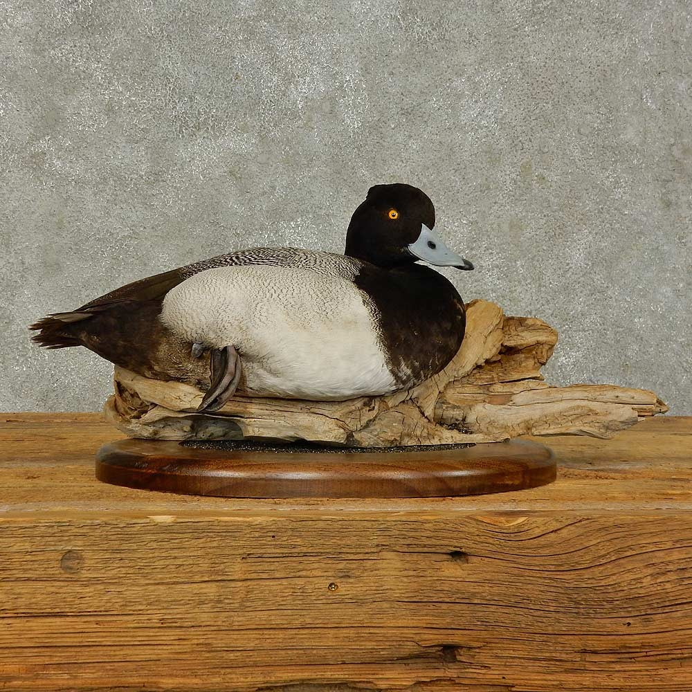 Lesser Scaup Duck Bird Mount For Sale #16402 - The ...