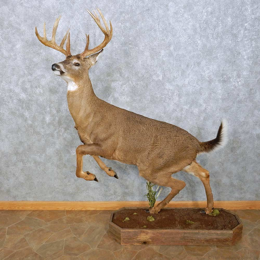 Whitetail Deer Life Size Mount For Sale 15025 The