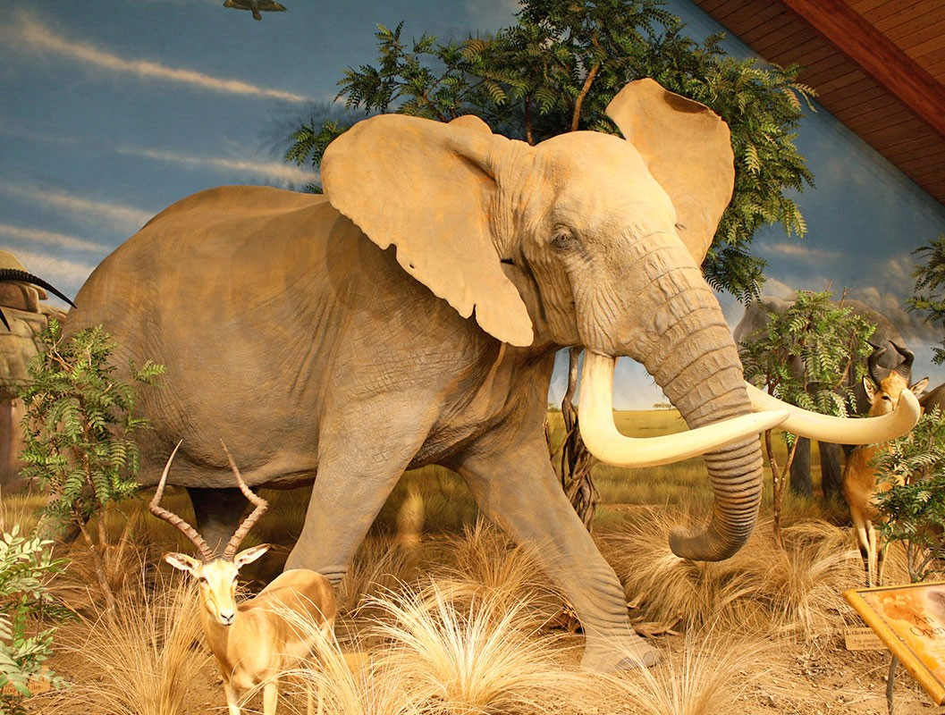 african elephant reproduction life size mount for sale