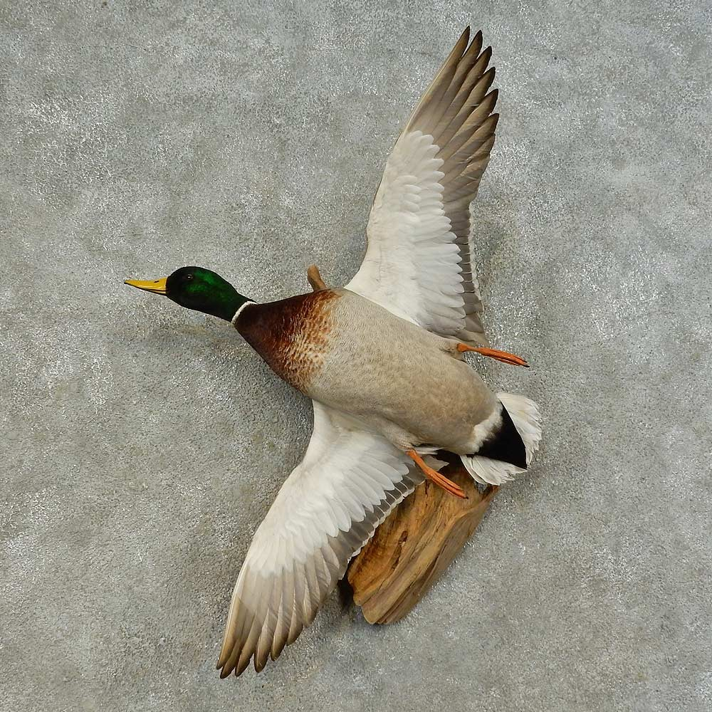 mallard duck drake bird mount for sale #16427 - the taxidermy store