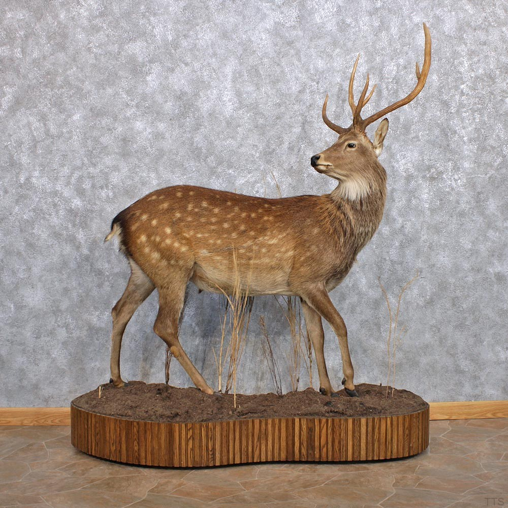 Manchurian Sika Deer Mount For Sale 10412 The Taxidermy