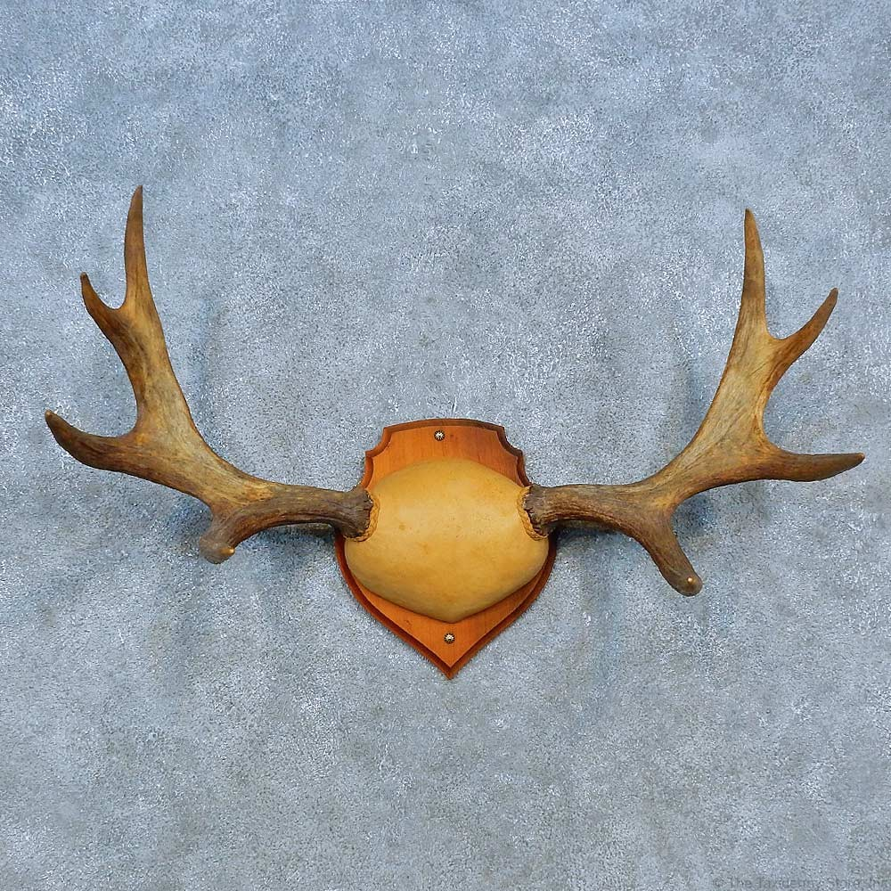 Moose Antler Plaque Mount For Sale #15488 - The Taxidermy ...