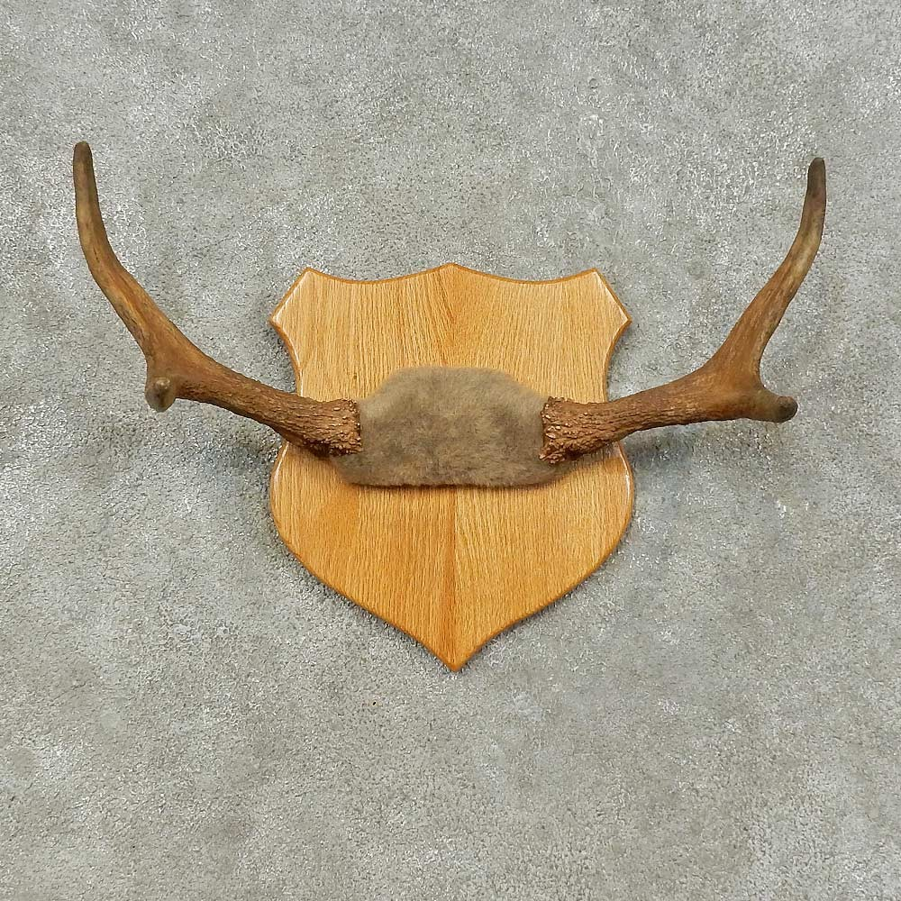 Moose Antler Plaque Taxidermy Mount For Sale