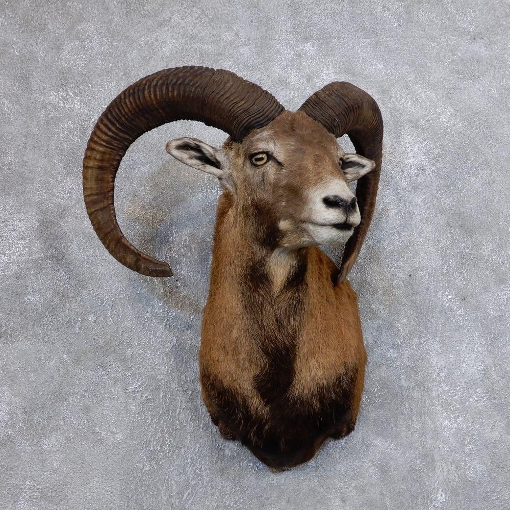 mouflon ram shoulder mount for sale 18640 the taxidermy. Black Bedroom Furniture Sets. Home Design Ideas