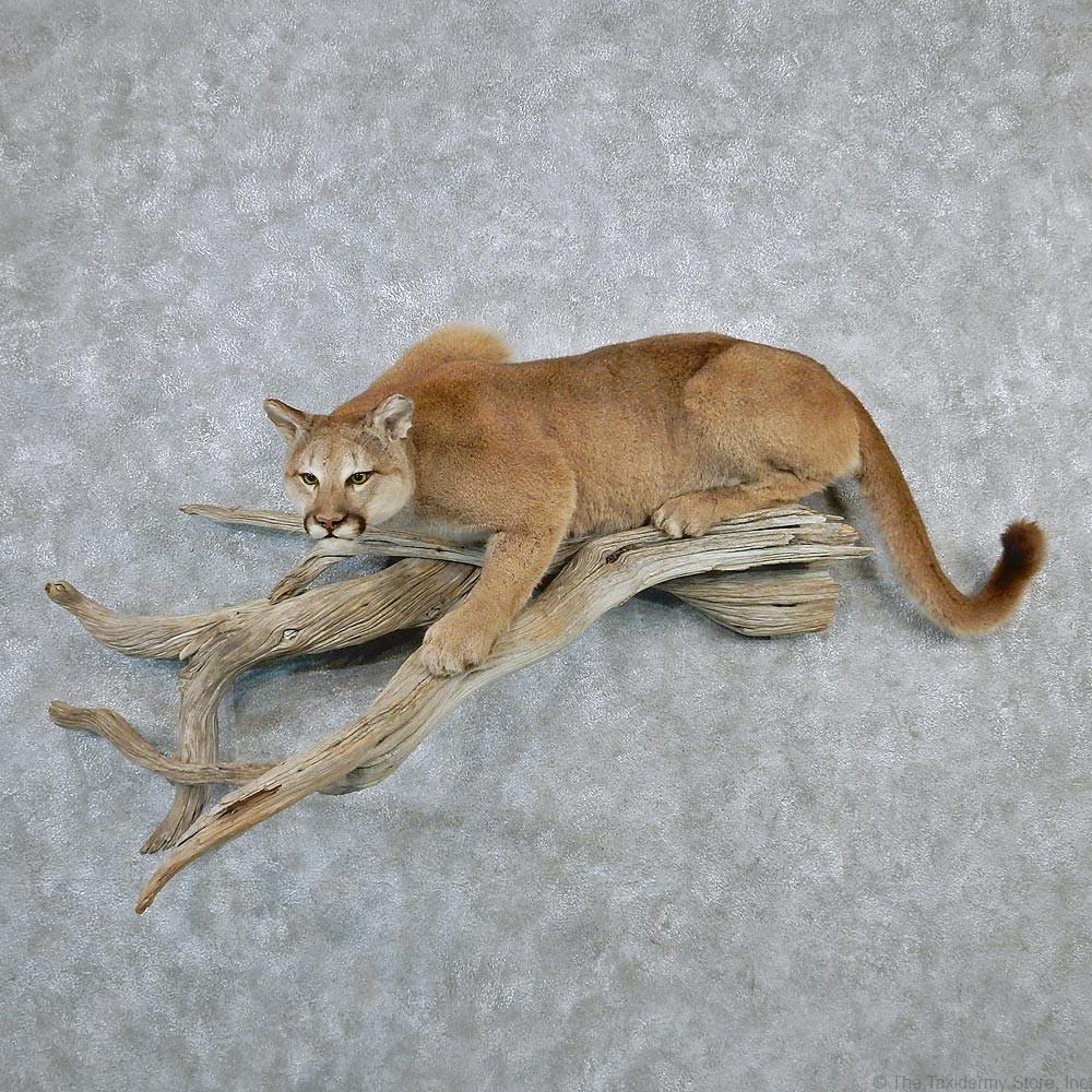 Cougar Life Log In
