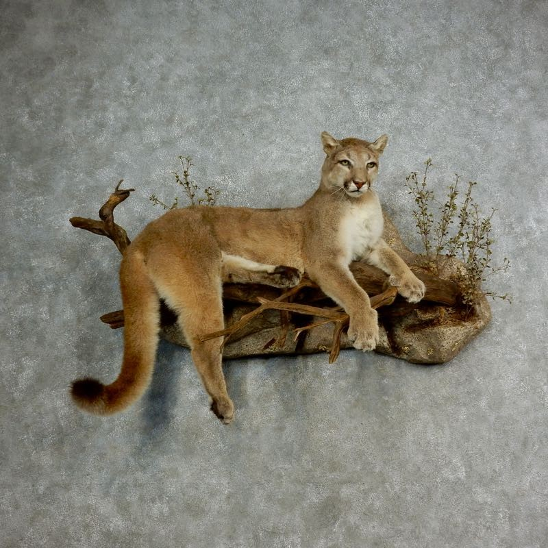 Mountain Lion Life Size Mount For Sale 17112 The Taxidermy Store