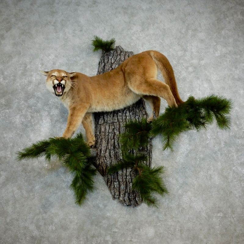 Cougar & Mountain Lion Taxidermy For Sale