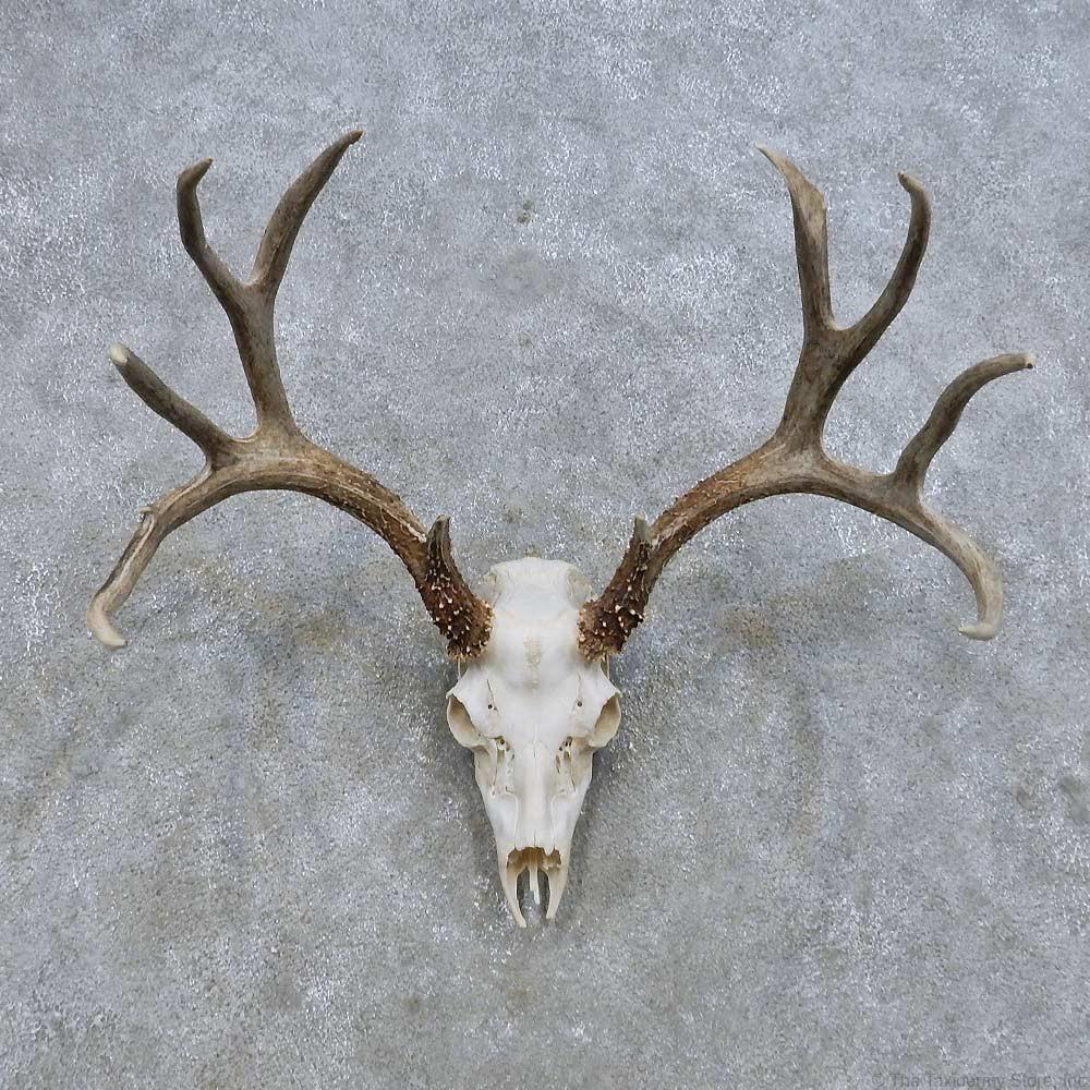 Mule Deer Head Drawings