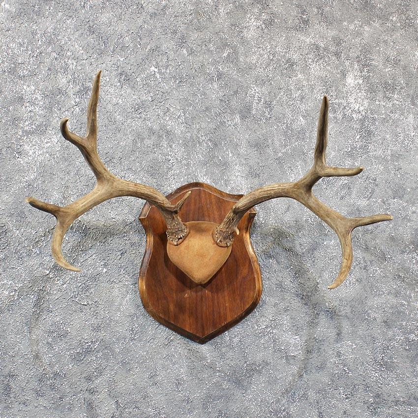 Mule Deer Antler Mount #11612 - The Taxidermy Store