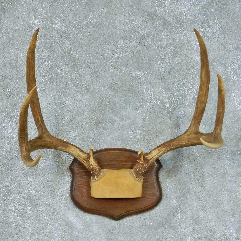 Mule Deer Antler European Mount For Sale #13454 - The Taxidermy Store Mule Deer European Mount