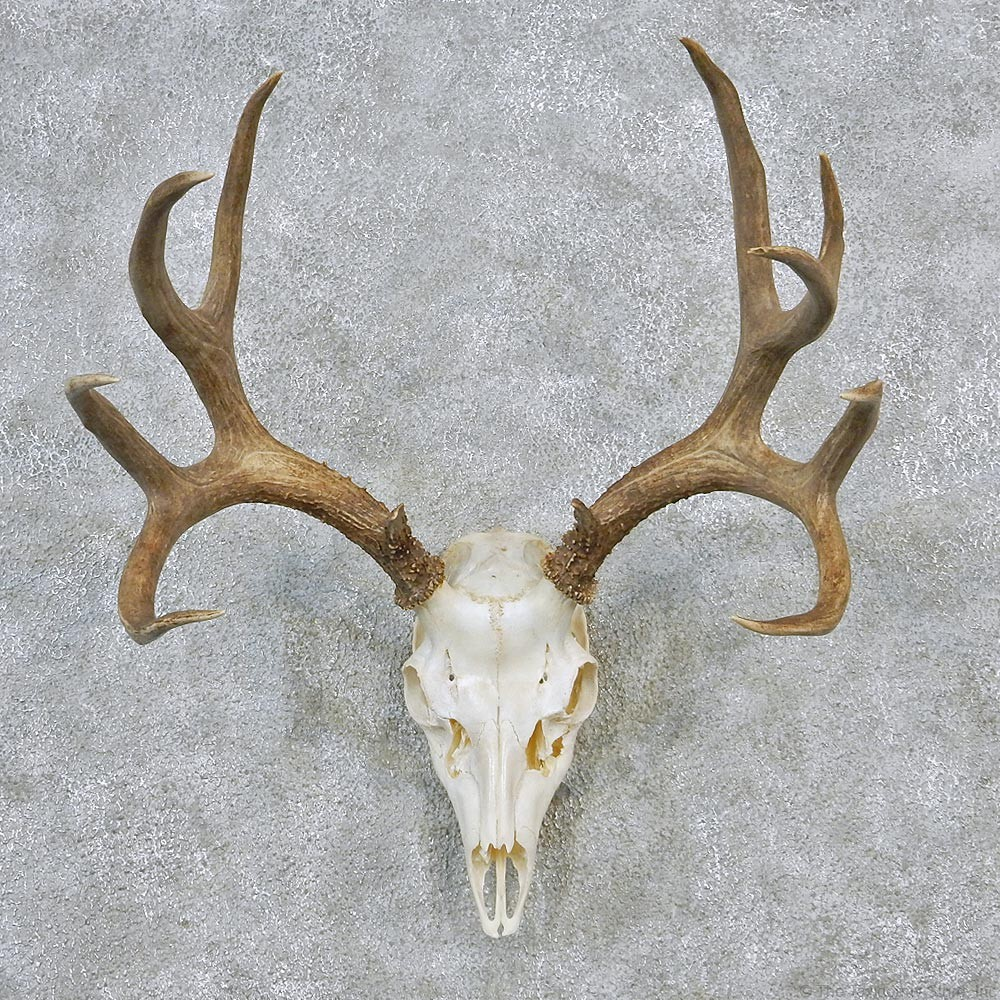 Deer taxidermy antler plaque mount 12621 for sale the taxidermy