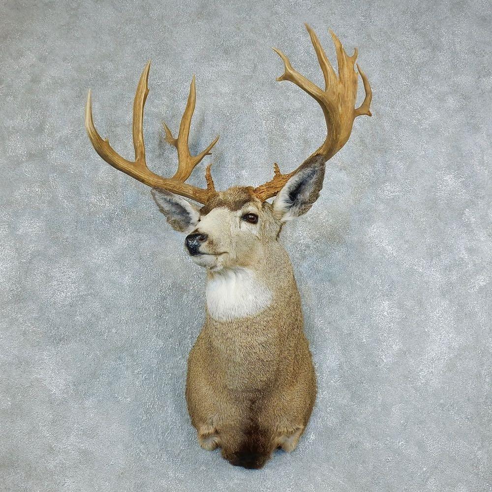 Deer Head Mount >> Mule Deer Taxidermy Shoulder Mount For Sale