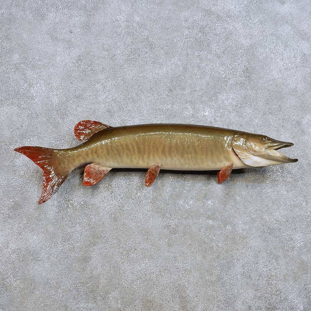 Muskie taxidermy fish mount 14385 the taxidermy store for Fish mounts for sale