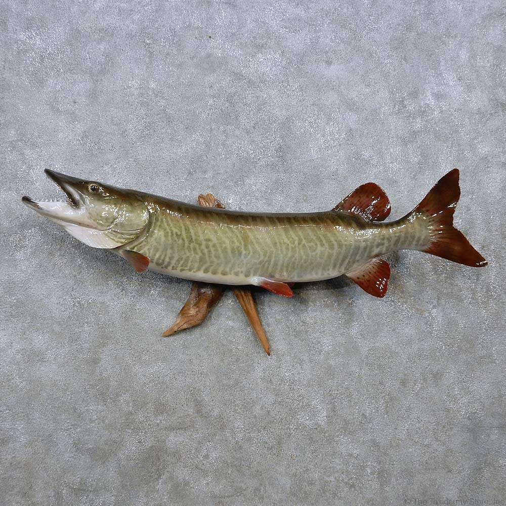 Muskie taxidermy fish mount 14465 the taxidermy store for Fish mounts for sale