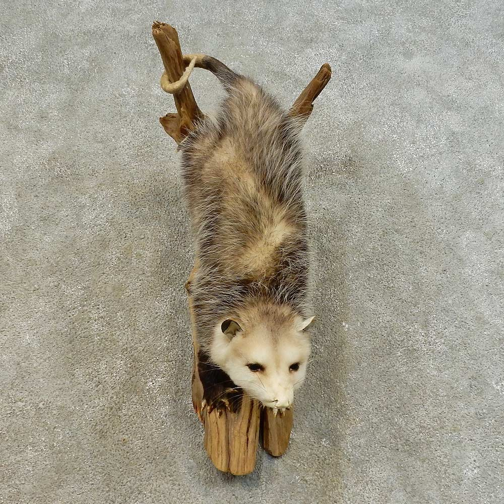 Wall-Hanging Opossum Mount For Sale #16514 - The Taxidermy ...