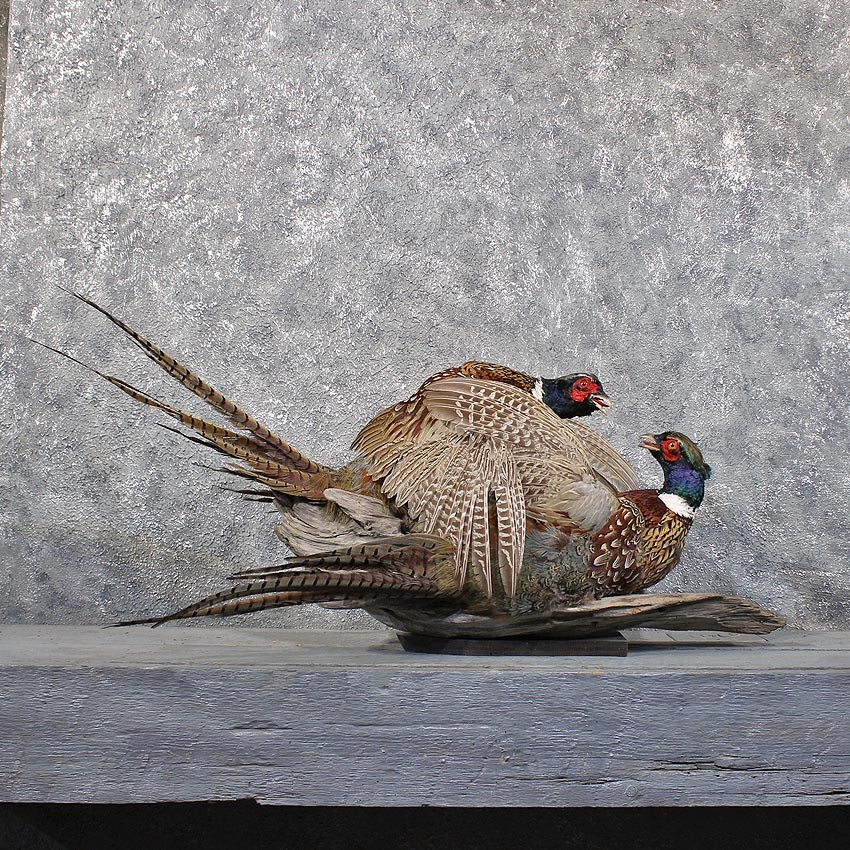 Fighting Ringneck Pheasant Mounts #11742 - The Taxidermy Store