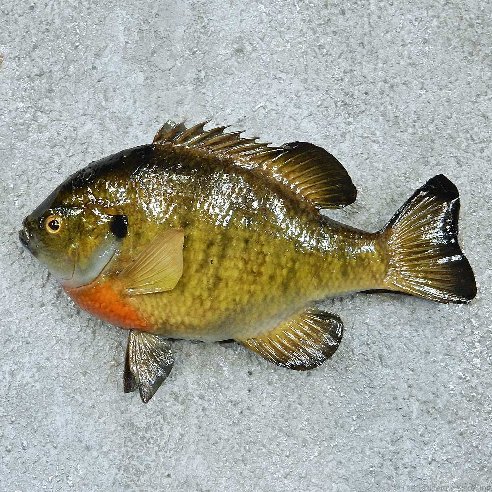 Bluegill fish mount 13392 the taxidermy store for How to taxidermy a fish