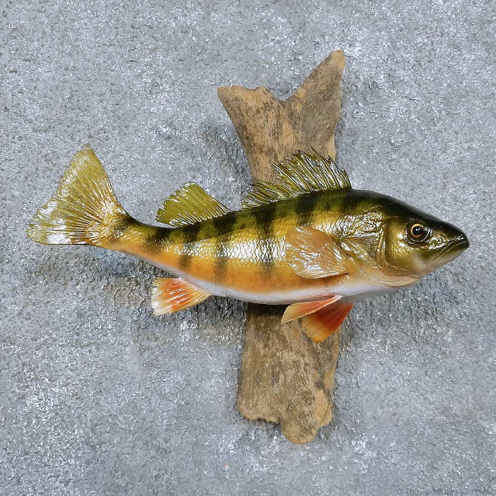 Perch taxidermy fish mount for sale 14343 the taxidermy for How to taxidermy a fish