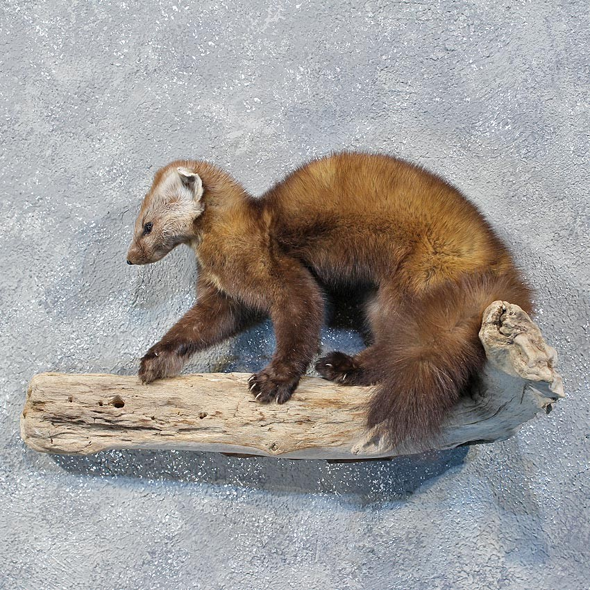 Pine Marten For Sale 10176 The Taxidermy Store