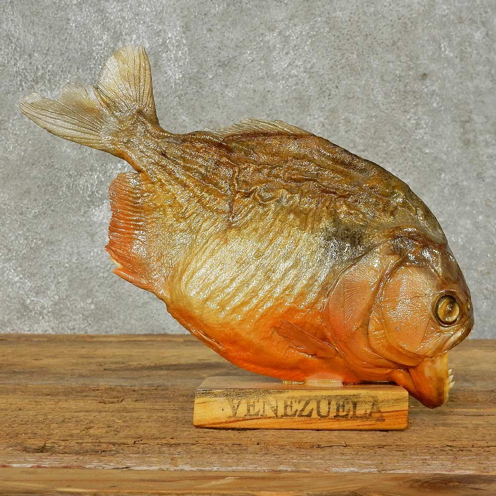 Red bellied piranha fish mount for sale 16240 the for How to taxidermy a fish