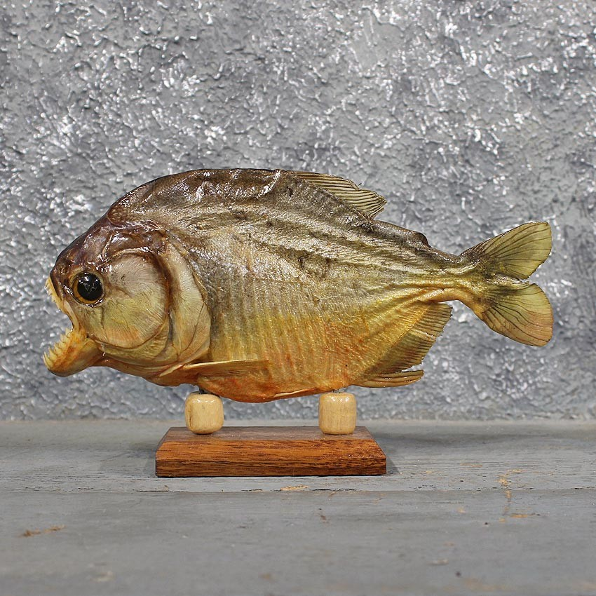 Red bellied piranha fish mount 11675 the taxidermy store for Fish mounts for sale
