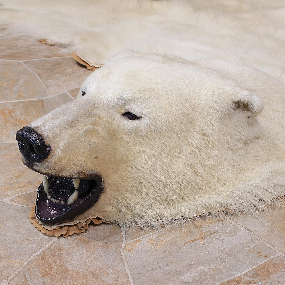 Polar Bear Taxidermy Rug Mount For Sale #11056