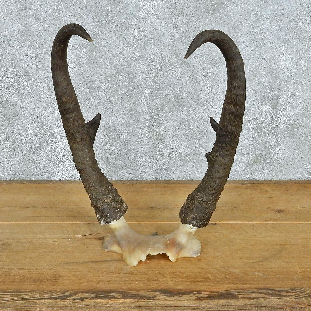 Pronghorn Antelope Horns For Sale #12564 - The Taxidermy Store Horns