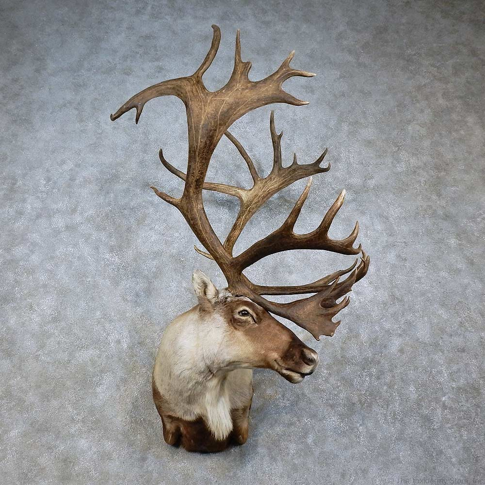 Wall Pedestal Mule Deer Mount Showpiece Taxidermy South
