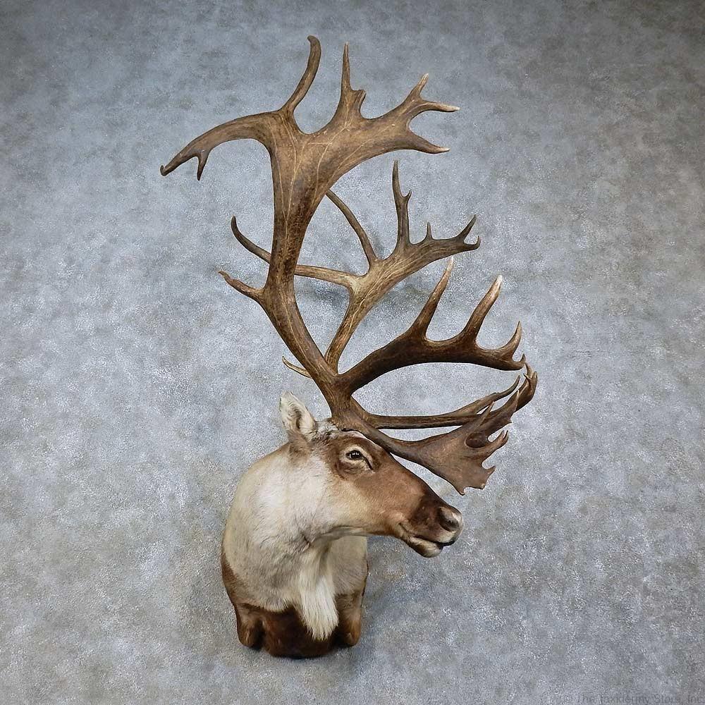 Wall Pedestal Mule Deer Mount Showpiece Taxidermy South