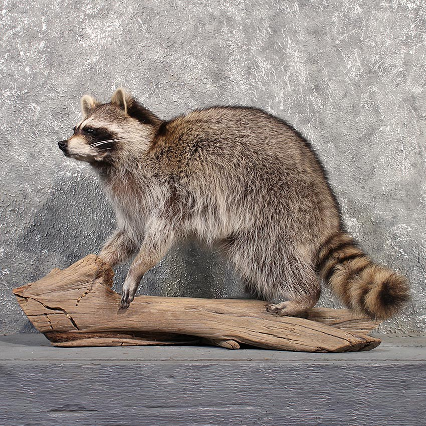 Standing Raccoon Mount 11510 The Taxidermy Store