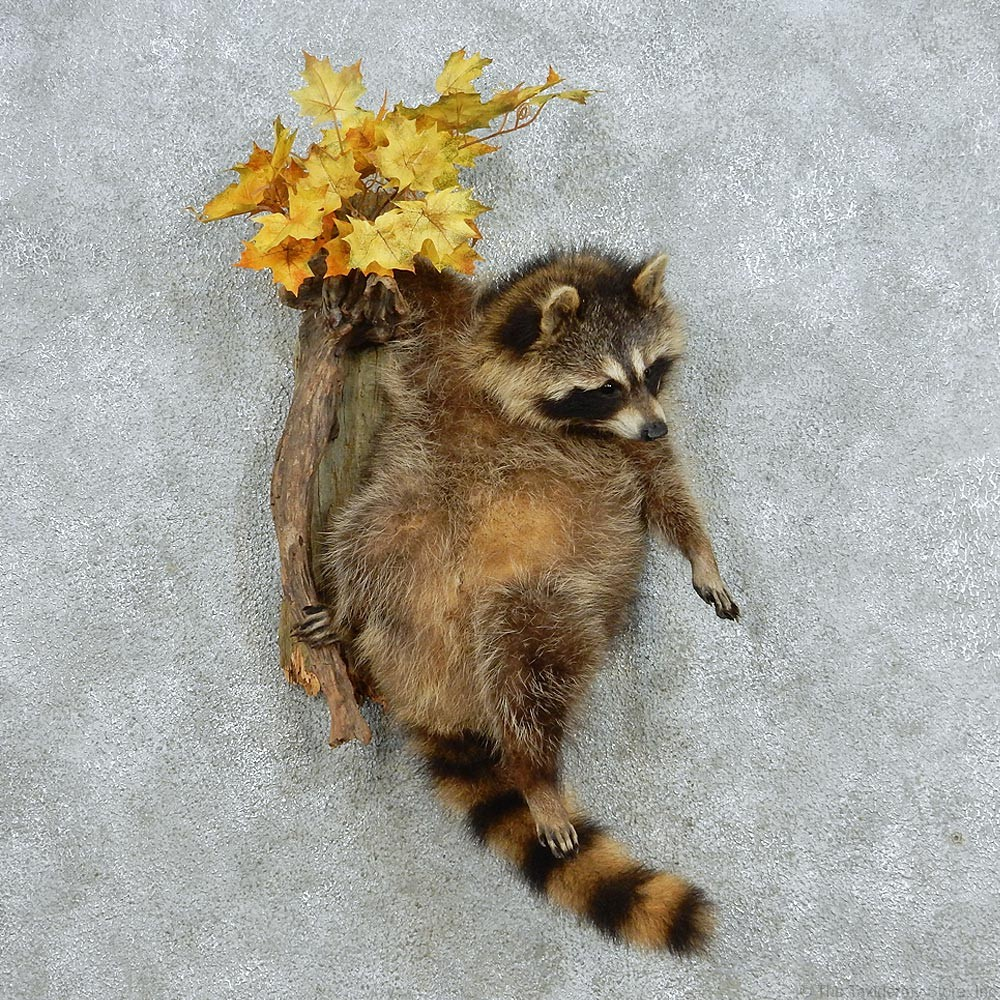 13068 Raccoon Life Size Taxidermy Mount W Habitat For Sale
