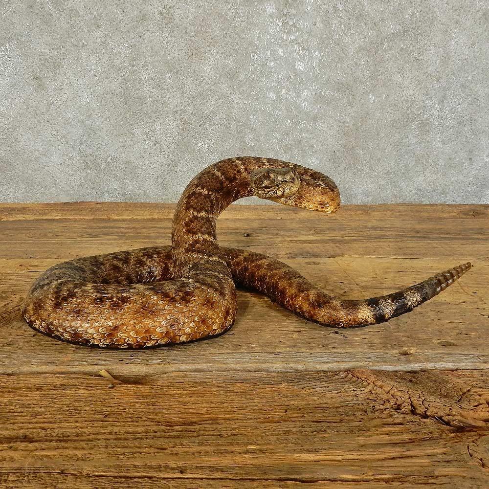 Eastern Diamondback Rattlesnake Mount For Sale #15867 - The