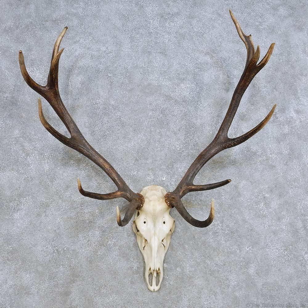 Red Deer Skull Antler European Mount For Sale #14420 - The ...