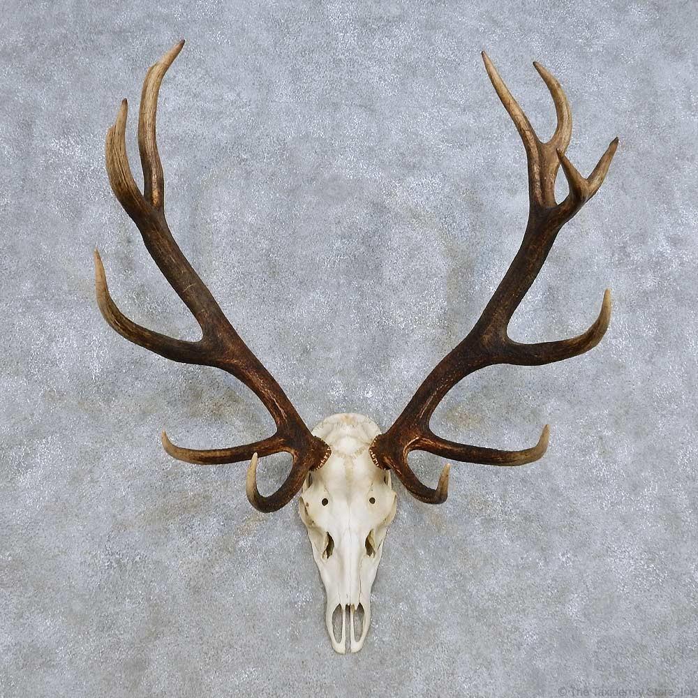 Red Deer Skull Antler European Mount For Sale #14425 - The ...
