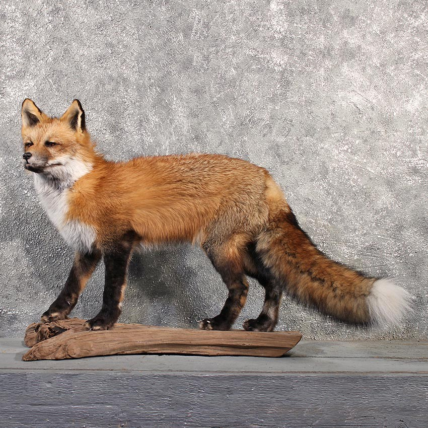 Standing Red Fox Mount #11513 - For Sale - The Taxidermy Store