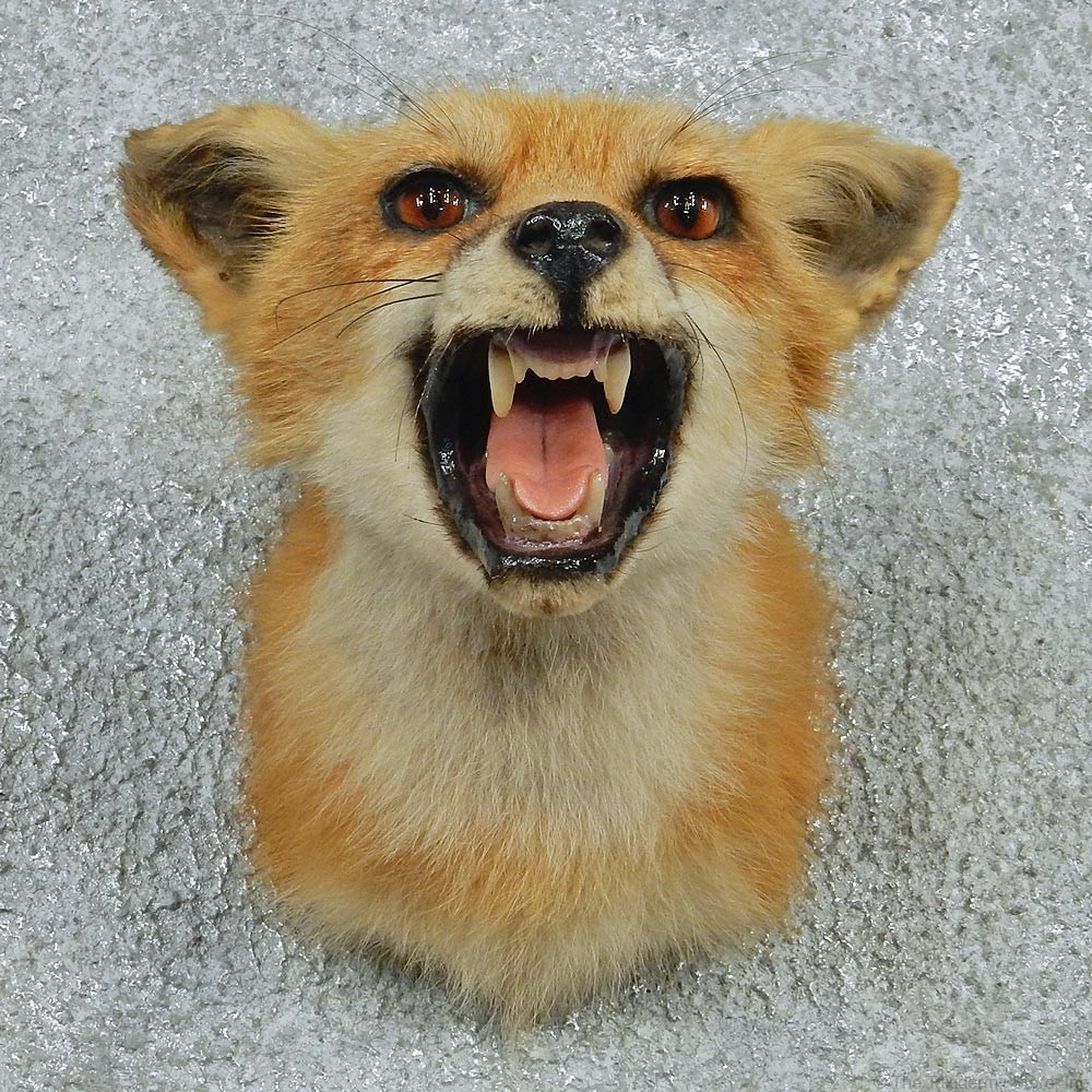 Red Fox Taxidermy For Sale 12763 The Taxidermy Store