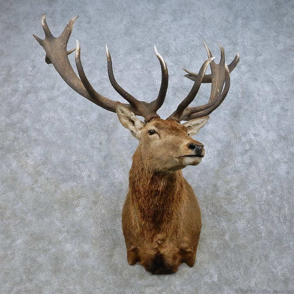 how to clean taxidermy deer head