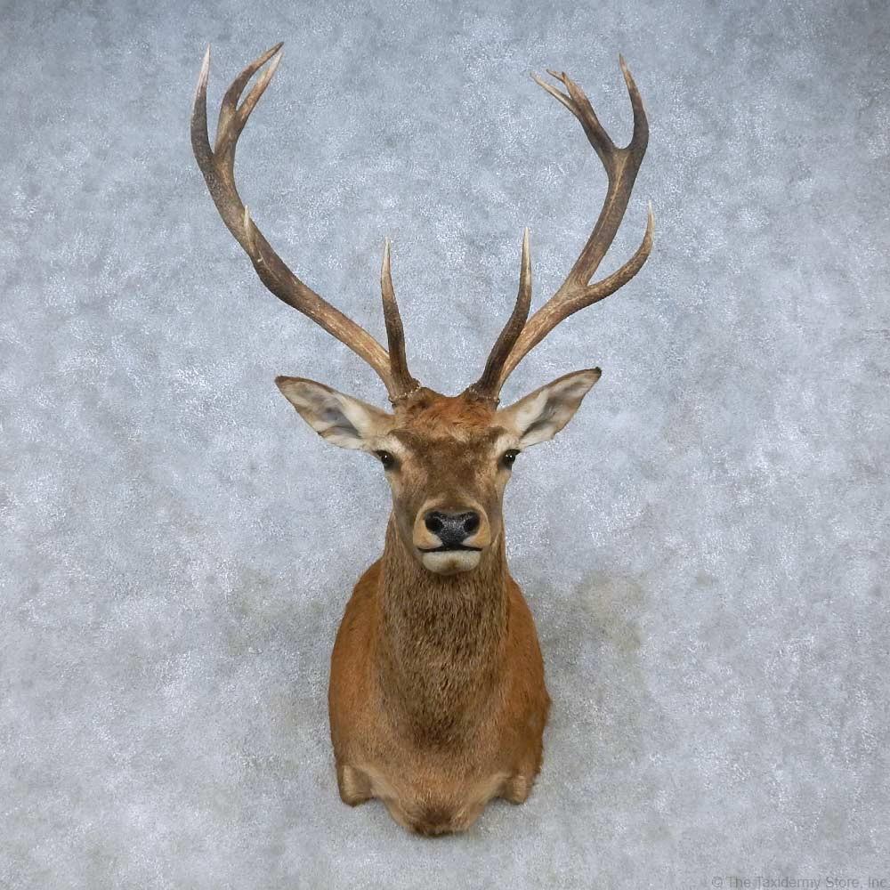 Red Deer Stag Shoulder Mount For Sale 15063 The