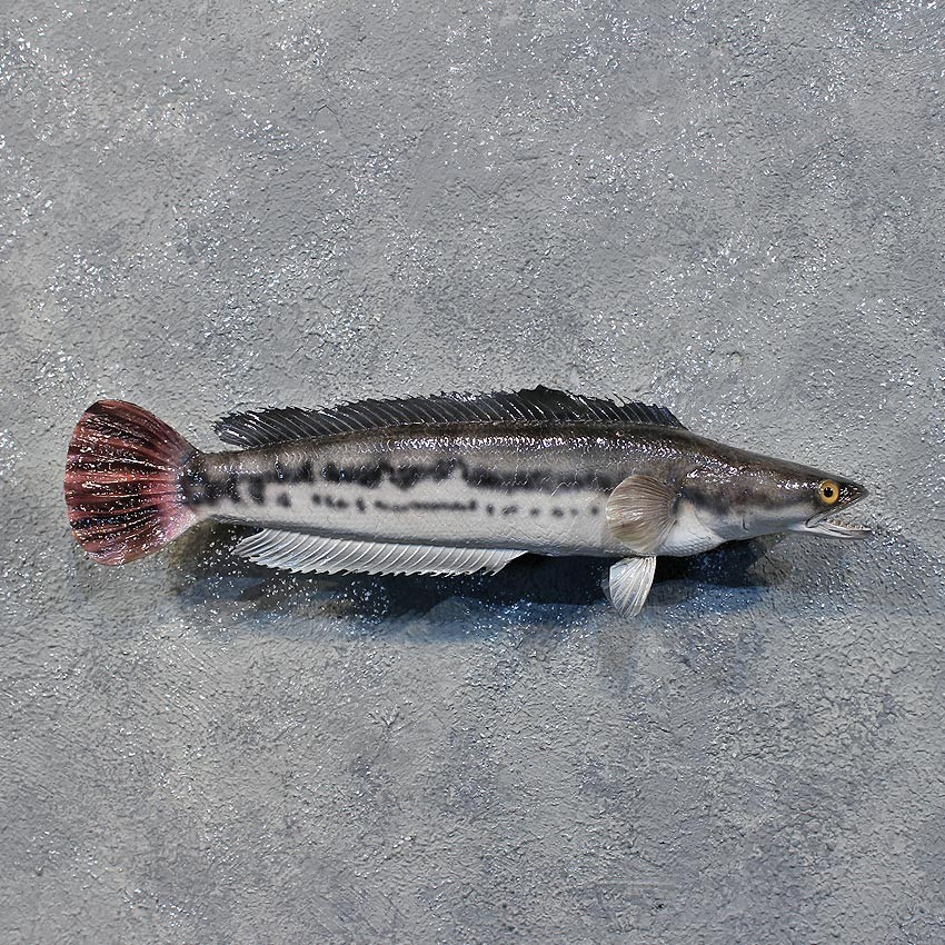redtailed snakehead fish mount 12227 the taxidermy store