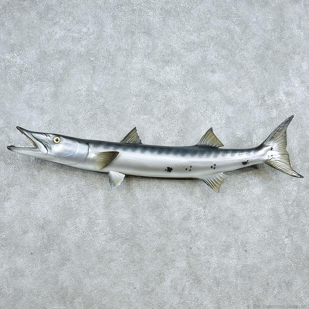 Barracuda replica fish mount 13047 the taxidermy store for Replica fish mounts