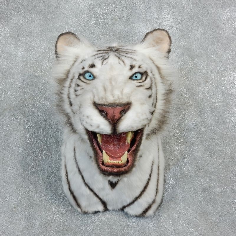 Taxidermy Tiger Rug For Sale: Reproduction White Bengal Tiger Shoulder Mount #18303